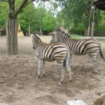 De zebra's