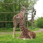 De giraffe's