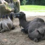 De kamelen
