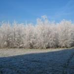 Witte struiken (1)