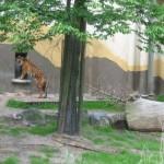 De tijgers