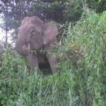 Olifanten bij de Kinabatangan