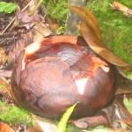 De Rafflesia (2)