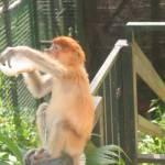 Neusaapje in de dierentuin
