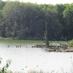 Kolonie Aalscholvers (1)
