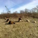 Een kudde konikpaarden