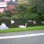 Zwanen aan de 's-Gravenweg