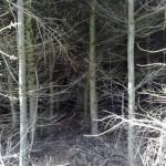 Een dicht dennenbos