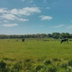 Vanaf een rustige weg hadden wij, over dit veld met koeien heen, uitzicht op Gieten.