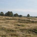 Wederom een zeer fraai stuk heide, maar nu voorzien van grazende schapen.