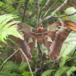 De hele grote Atlasvlinder was te zien in de vlindertuin. Wij hebben er twee gezien.