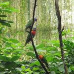 Deze felgekleurde Ara's vlogen in hele groepen tegelijk door de Jungola. Je kon ze zelfs voederen.