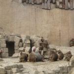 De Mantelbavianen waren met veel en hadden een erg grote ruimte tot hun beschikking.