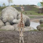 Deze Giraffe was aan het studeren voor fotomodel. Minuten lang stil staan in dezelfde houding zodat de mensen hun foto konden maken.
