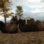 Deze Kamelen lagen zeer tevreden uit te rusten.