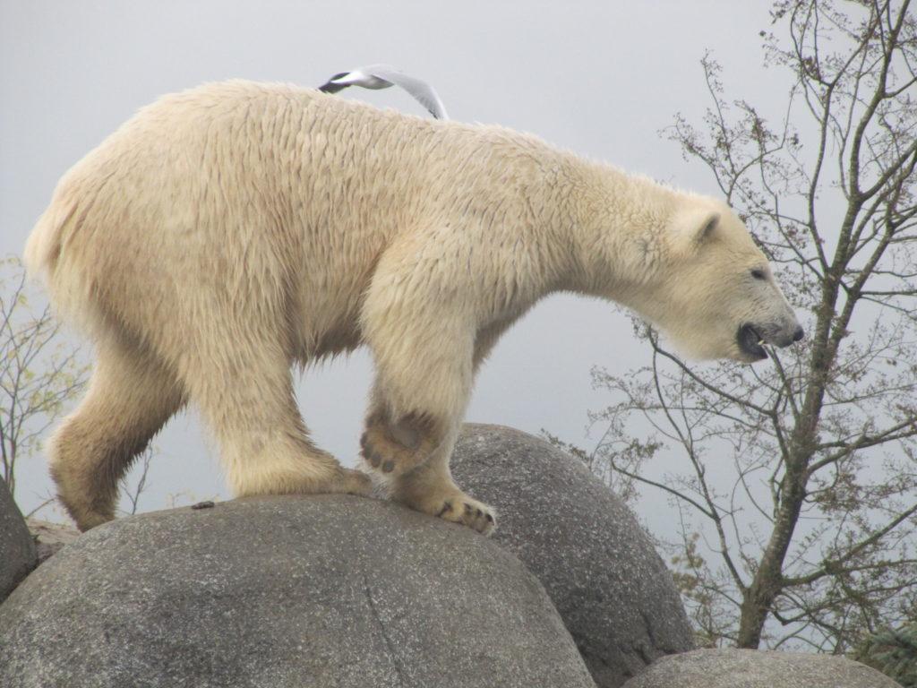 Deze IJsbeer was zeer alert en stond hoog en droog op een (nep)rots.