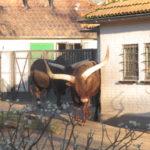 Aan het begin van de rondwandeling door Artis zagen wij deze runderen.