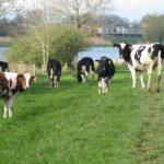 Deze koeien stonden op de dijk langs het Zwarte Water en waren erg nieuwsgierig.