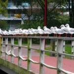 Meeuwen op een brugleuning in park Meerzicht (Cees Looij)