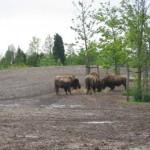 De bisons