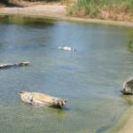 De zeeleeuwen