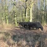 Zwarte Gallowayrunderen in het bos