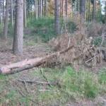 Omgezaagde naaldboom