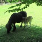 Deze, erg kleine, pony liep met een jong veulen in de wei.