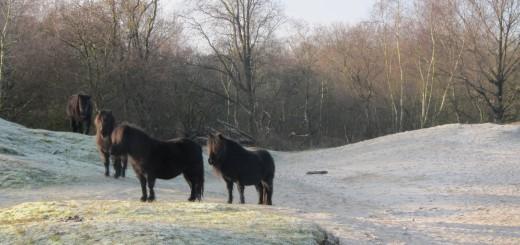 In de Zeepeduinen leven diverse kudden met Shetland Pony's.