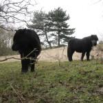 Op de terugweg naar Burgh-Haamstede schampten wij het gebied de Zeepeduinen waar deze Shetland Pony's rondliepen.