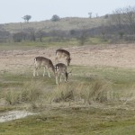 Wij zagen vandaag heel veel hertjes. Deze hertjes waren lekker gras aan het eten.