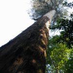 In Mata do Bussaco staat deze hele fraai en zeer lange boom.