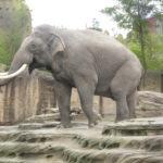 Deze Aziatische olifant was heel vrolijk, maar dat kwam waarschijnlijk omdat hij net gevoederd werd.