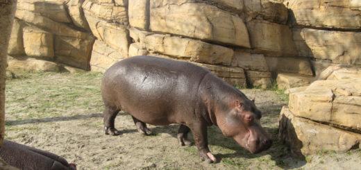 De Nijlpaarden hadden een erg fraai verblijf, met zelfs een plas water waar je als bezoeker ook nog onder water kon kijken.