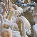 Roze Pelikanen hebben het in onze winter best wel koud, want ze gaan erg dicht bij elkaar zitten.