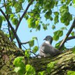 Tijdens onze rustpauze zagen wij deze duif in de boom tegenover ons.