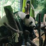 Panda in Zoo Berlin